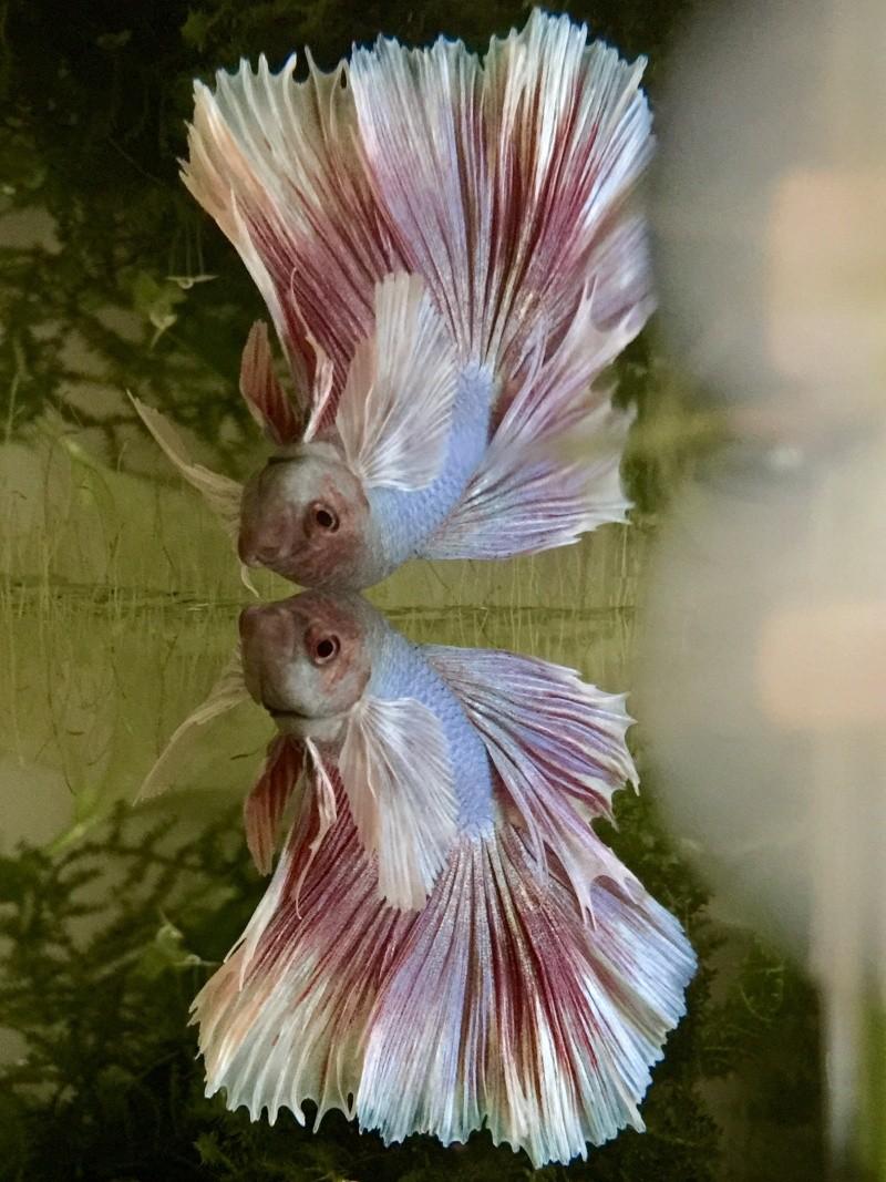 Hibiscus le dernier arrivé! Forme et couleur? RIP Image12