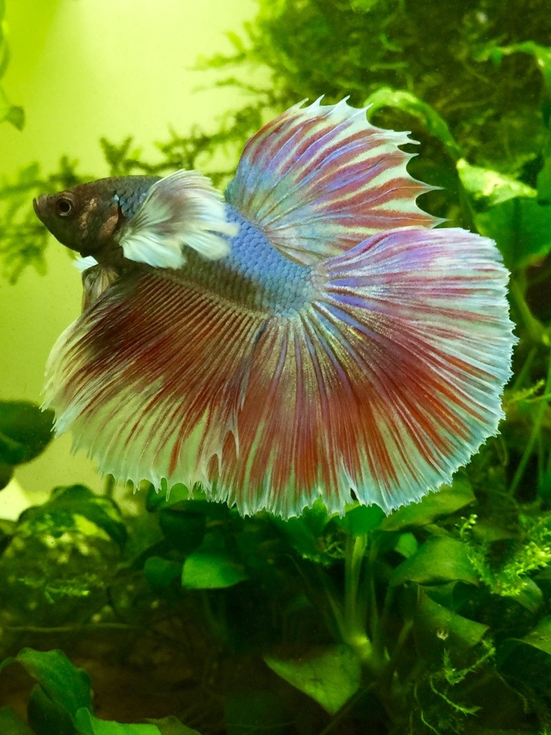 Hibiscus le dernier arrivé! Forme et couleur? RIP Image36