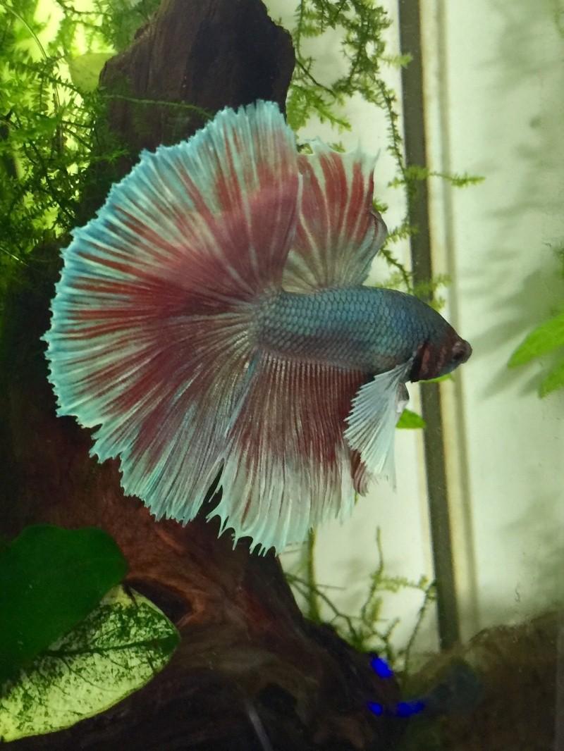 Hibiscus le dernier arrivé! Forme et couleur? RIP Image37