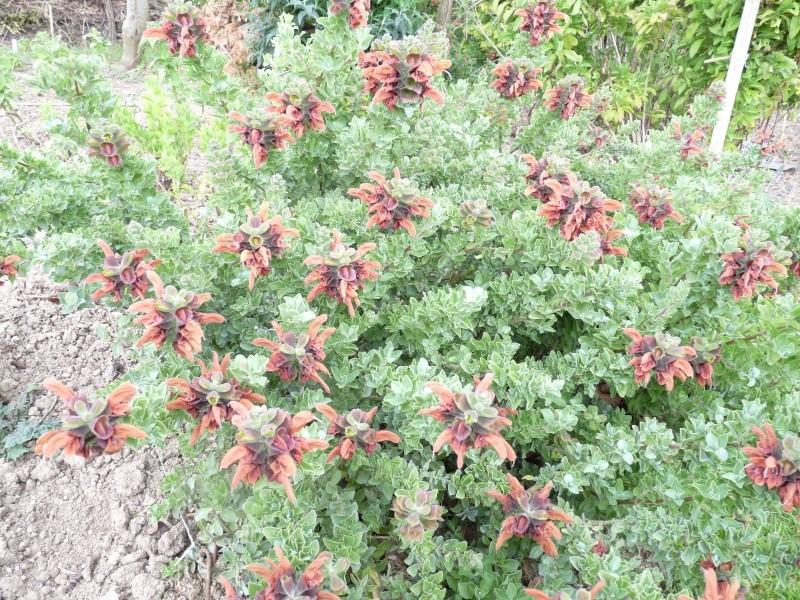 salvia africana lutea P1090210