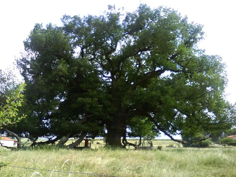 Quercus vous salue. Arbre110