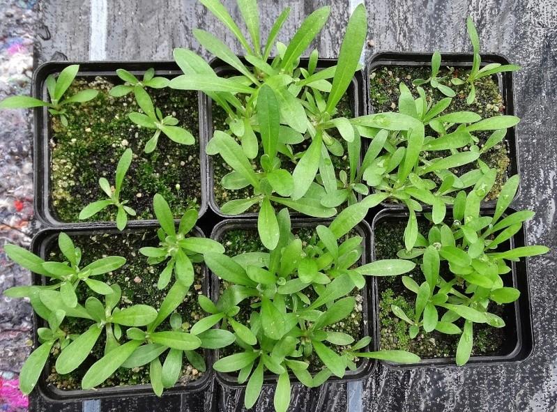 Edelweiss (Leontopodium) Dsc05011