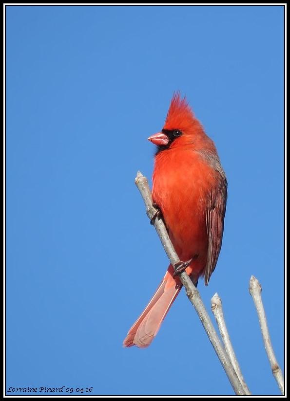 Cardinal rouge 09-04-21