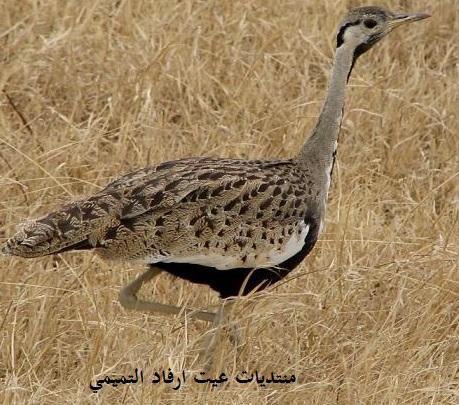 طائر الحبارى معلومات وصورة  Oy10