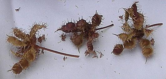Mimosa Pudica de Schilliger Graine11