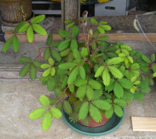 [Fiche] Mimosa Pudica (plante sensitive) Mamare10
