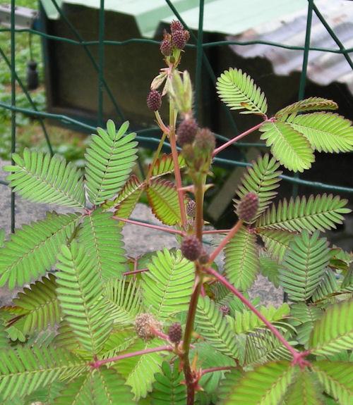 [Fiche] Mimosa Pudica (plante sensitive) Mamare11