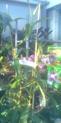 Népenthès Alata de 1 mètre........ Nepent11