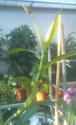 Népenthès Alata de 1 mètre........ Nepent12