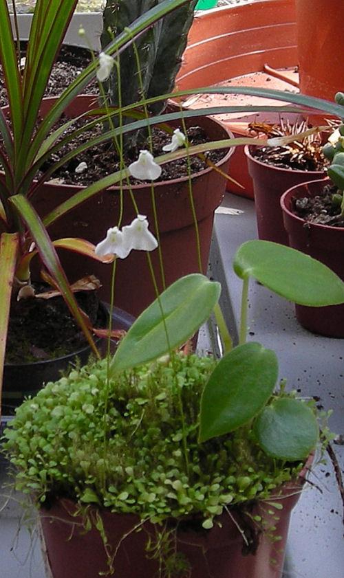 Mon Utriculaire Livida en fleurs Utricu10