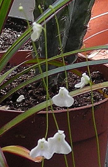 Mon Utriculaire Livida en fleurs Utricu11