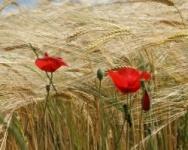 Champs de blé et de maïs de Glakdatagul