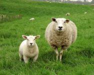 Troupeaux de moutons