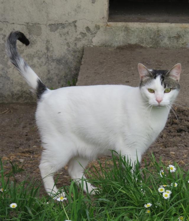 TIM mâle tigré et blanc 6 ans  Img_0710