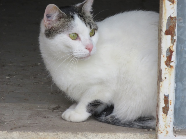 TIM mâle tigré et blanc 6 ans  Img_0715
