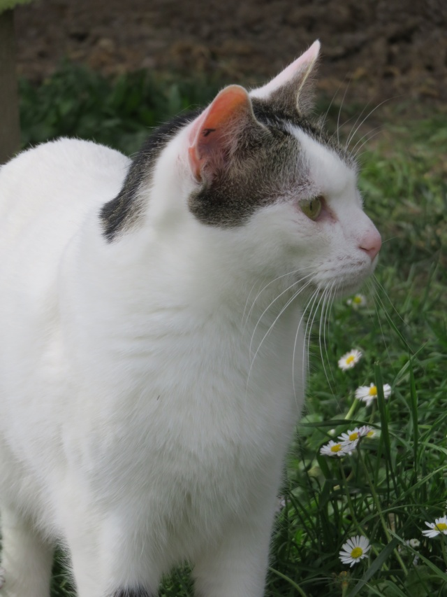 TIM mâle tigré et blanc 6 ans  Img_0718