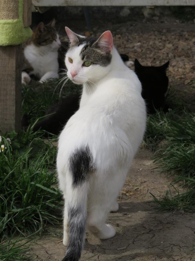 TIM mâle tigré et blanc 6 ans  Img_0720