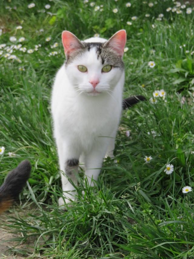 TIM mâle tigré et blanc 6 ans  Img_0722