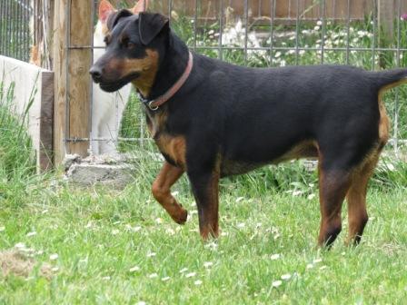 KUGA femelle type jagd terrier 7 ans et demi Img_0816