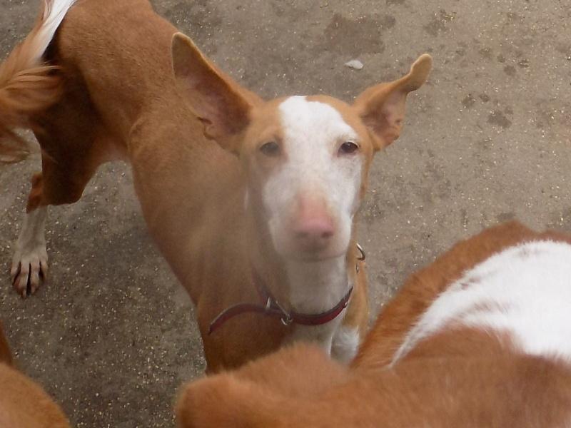 Carmona, adorable podenca, 2ans Adoptée  12885610