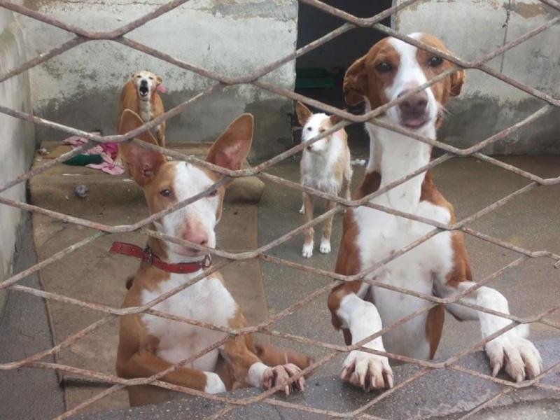 Carmona, adorable podenca, 2ans Adoptée  98118210