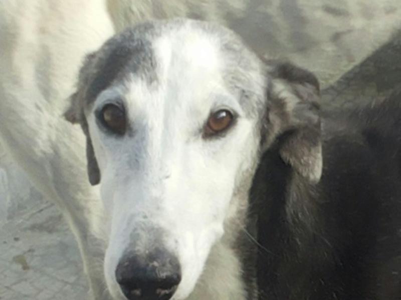 Bruja, galga grise et blanche, 5 ans Adoptée  Fiel_e10
