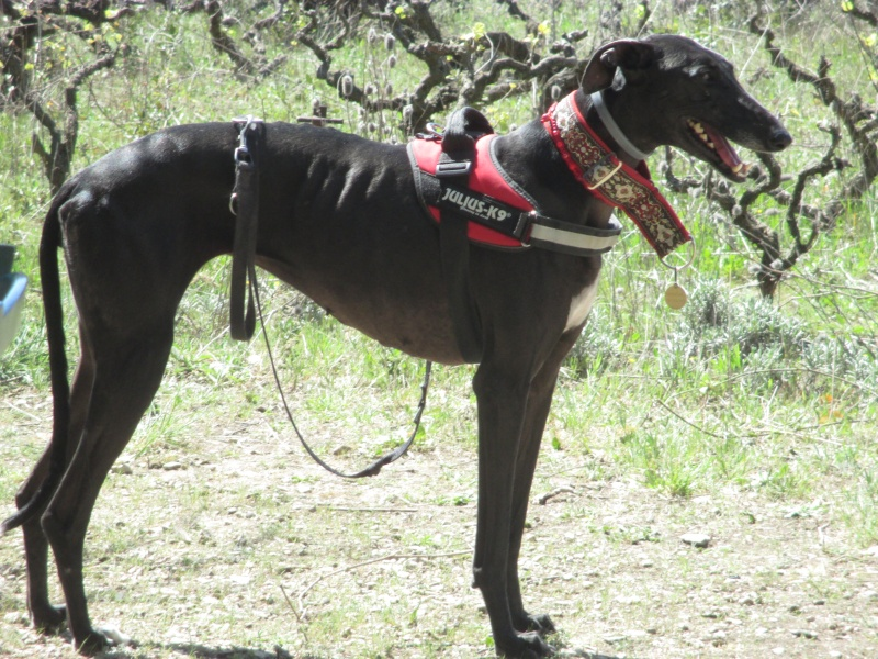 Morena tres belle galga noire agée de 5 ans Scooby France adoptee - Page 6 Img_2423