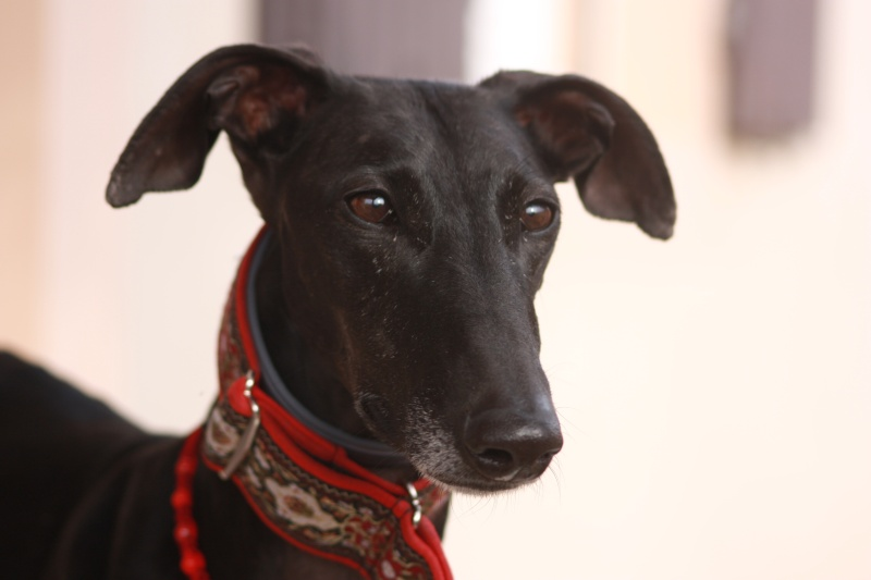 Morena tres belle galga noire agée de 5 ans Scooby France adoptee - Page 6 Img_2446