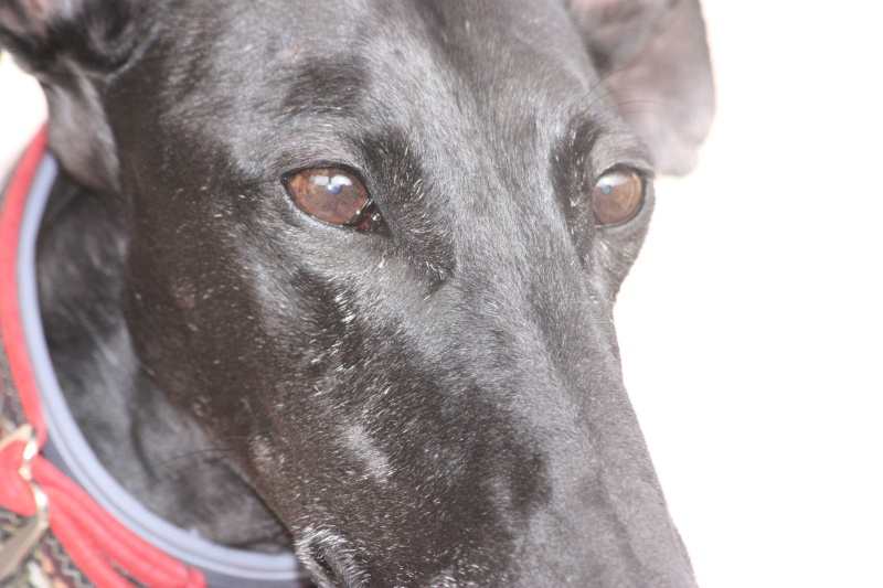 Morena tres belle galga noire agée de 5 ans Scooby France adoptee - Page 6 Img_2448