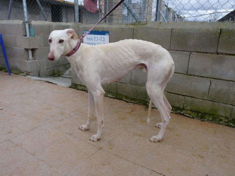 Camacho, galgo blanc, 3 ans scooby france Adopté  P1260015