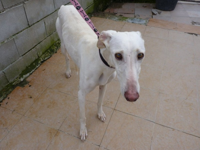 Camacho, galgo blanc, 3 ans scooby france Adopté  P1260016