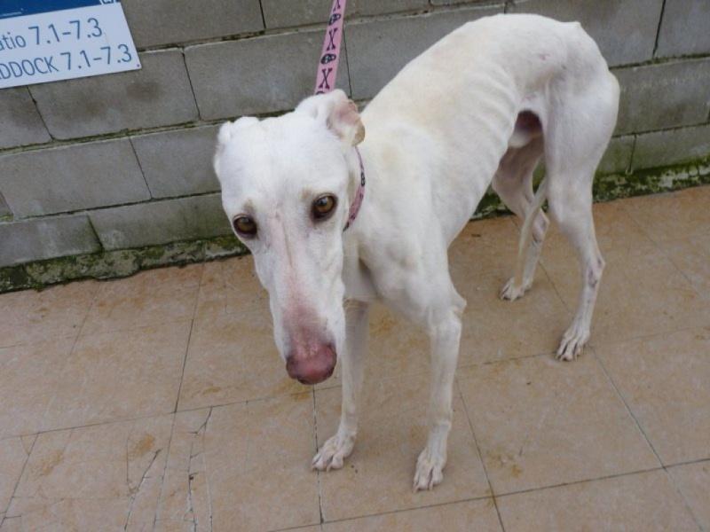 Camacho, galgo blanc, 3 ans scooby france Adopté  P1260018