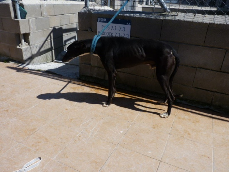 Arturo, galgo noir, 2 ans P1270311