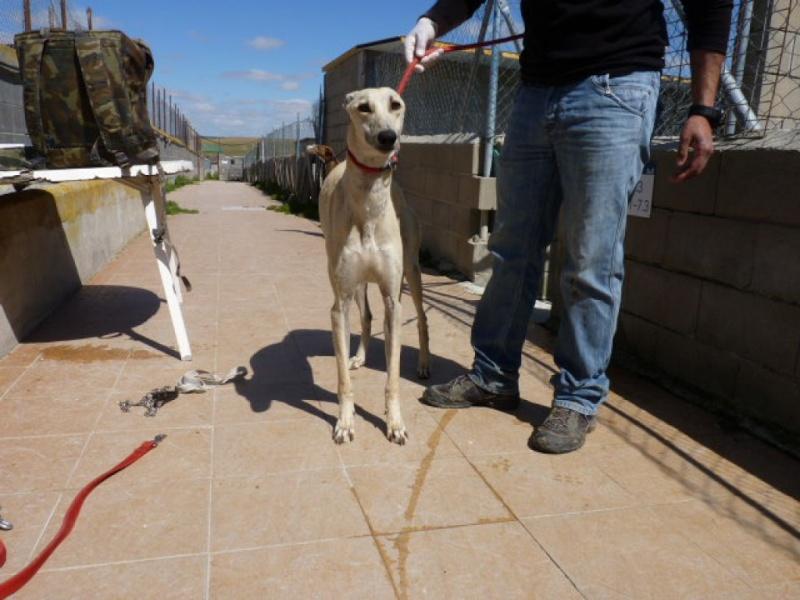 CANELITO, galgo beige, 2 ans  Adopté  P1270312