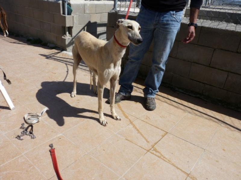 CANELITO, galgo beige, 2 ans  Adopté  P1270313