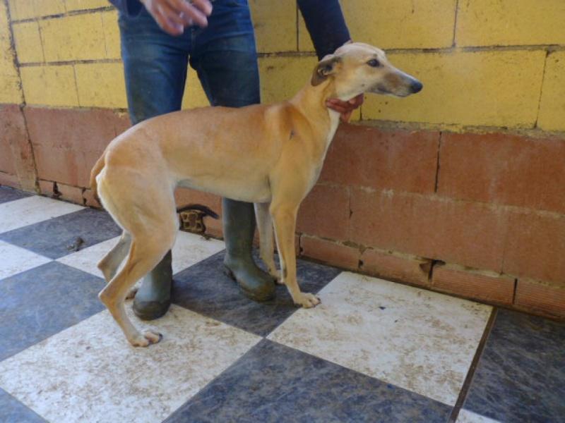 Ballena, galga beige, au museau fumé, 2 ans Adoptée  P1270910