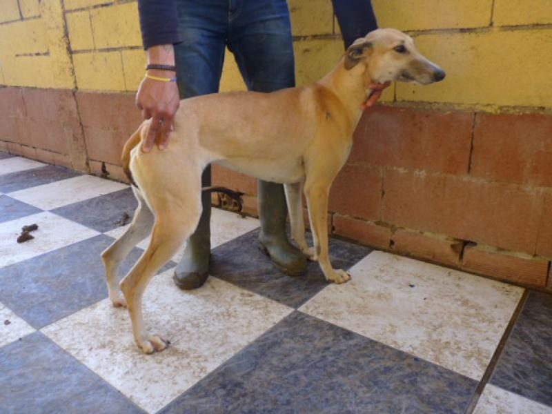 Ballena, galga beige, au museau fumé, 2 ans Adoptée  P1270913