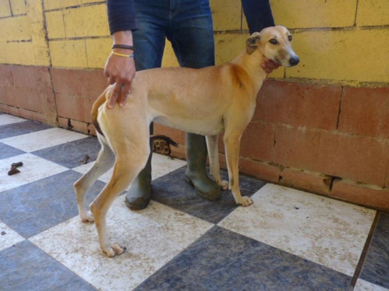 Ballena, galga beige, au museau fumé, 2 ans Adoptée  P1270914