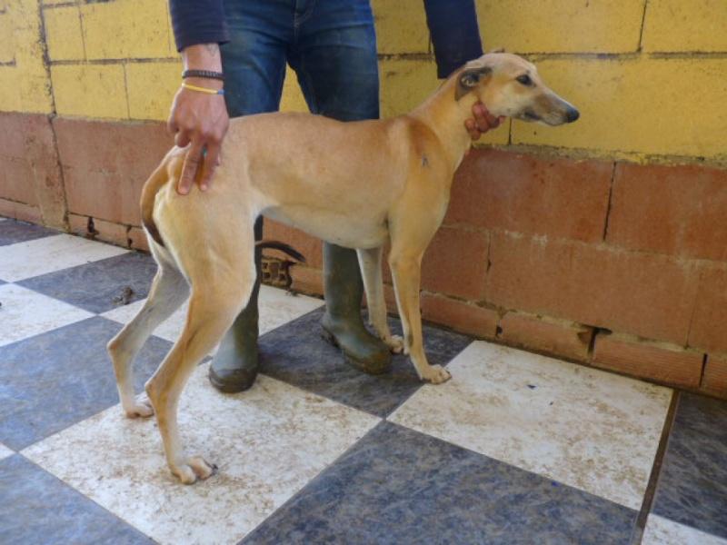 Ballena, galga beige, au museau fumé, 2 ans Adoptée  P1270915