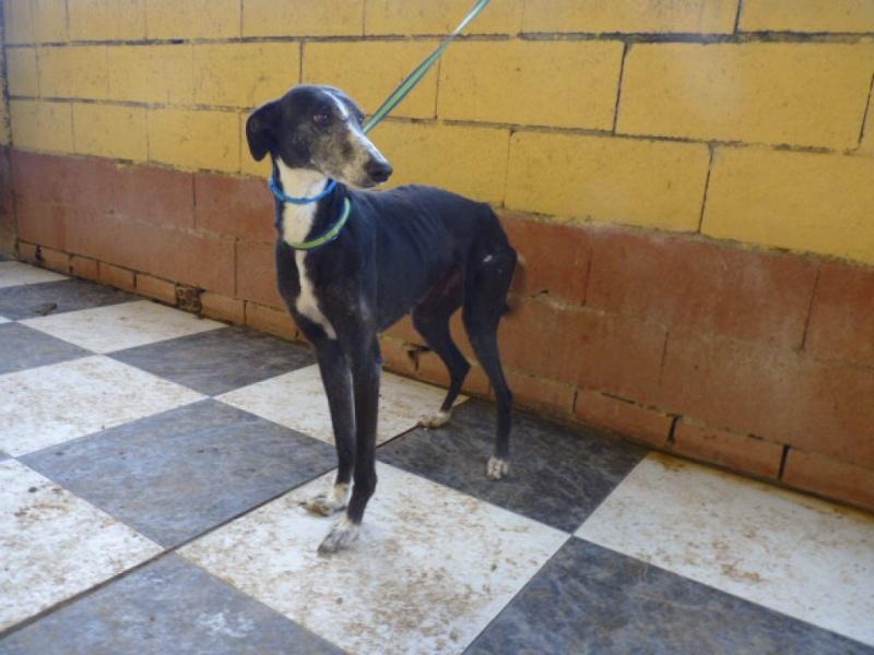 Susan, douce galga noire et blanche, 3 ou 4 ans. P1270920