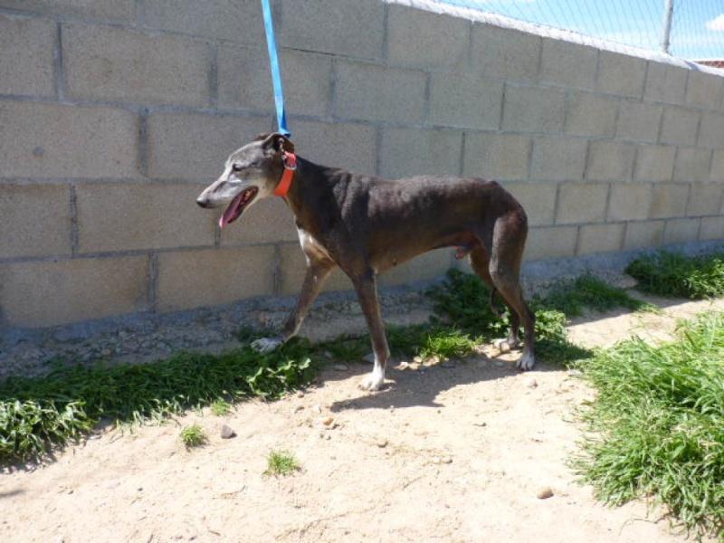 Montero, galgo grey, 6 ans Adopté P1290013
