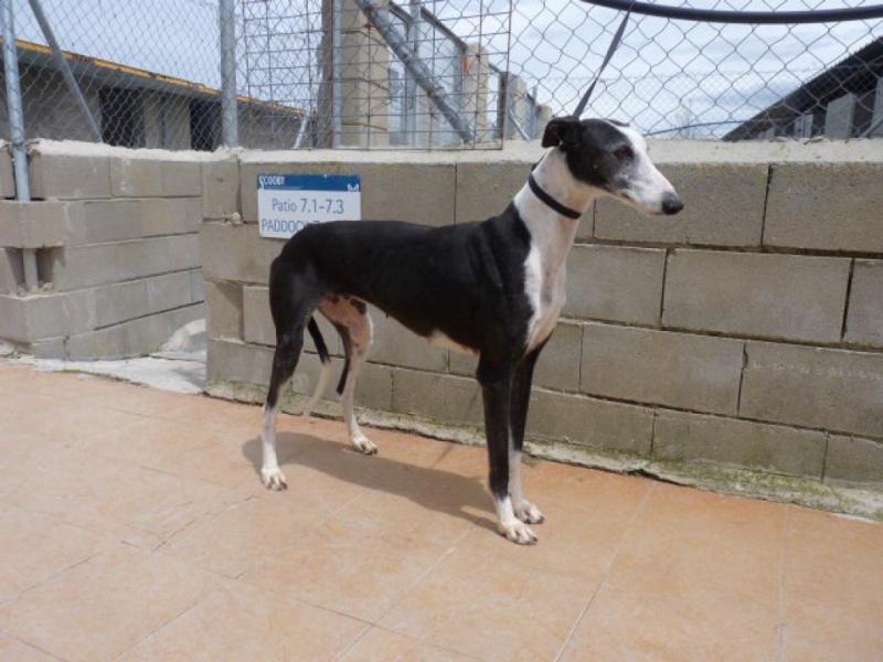 Careta grande galga noire et blanche, bientôt 6 ans.Scooby France  Adoptée  P1300710