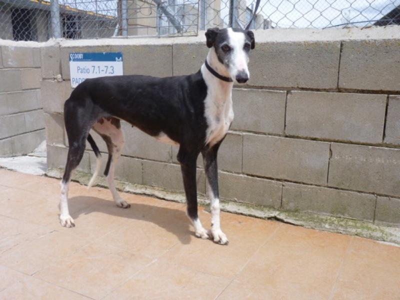 Careta grande galga noire et blanche, bientôt 6 ans.Scooby France  Adoptée  P1300711