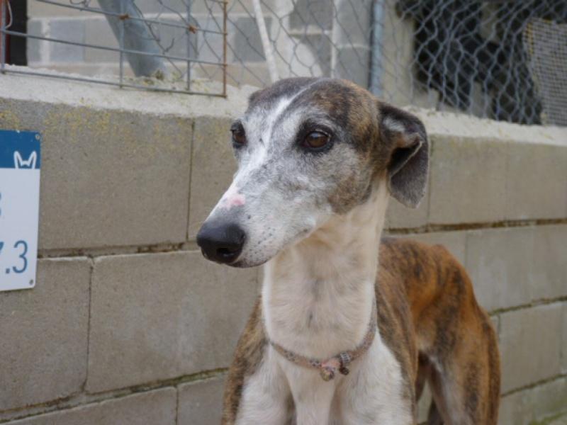 Belinda, galga bringée et blanche, 6 ans/ refuge de scooby à l'adoption Adoptée  P1300813
