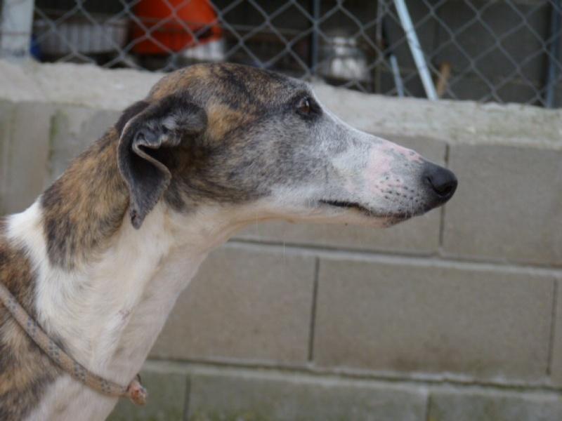 Belinda, galga bringée et blanche, 6 ans/ refuge de scooby à l'adoption Adoptée  P1300815