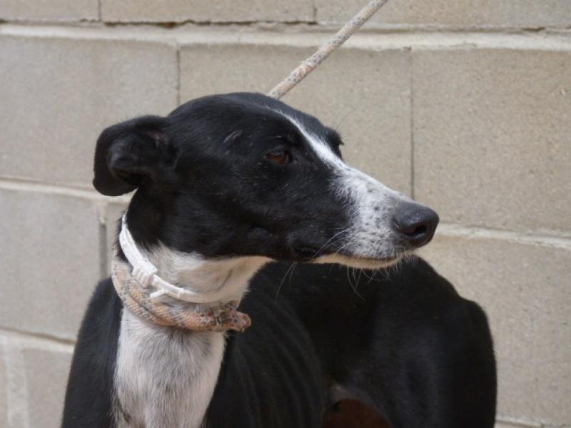 Brunela, fine galga noire et blanche, 2 ans  Scooby France Adoptée  P1300819