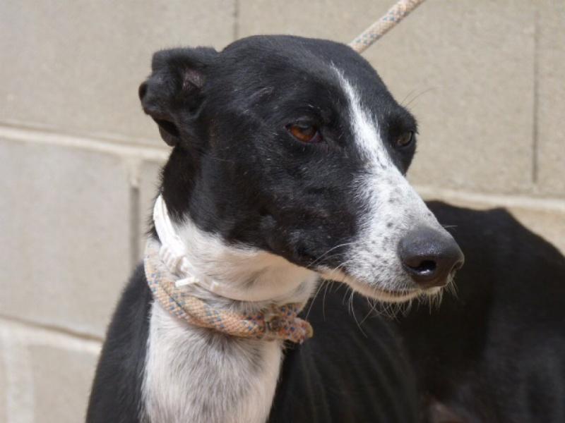 Brunela, fine galga noire et blanche, 2 ans  Scooby France Adoptée  P1300821