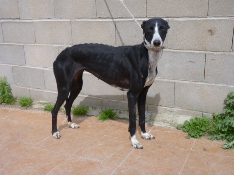 Brunela, fine galga noire et blanche, 2 ans  Scooby France Adoptée  P1300823