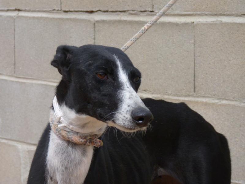 Brunela, fine galga noire et blanche, 2 ans  Scooby France Adoptée  P1300824