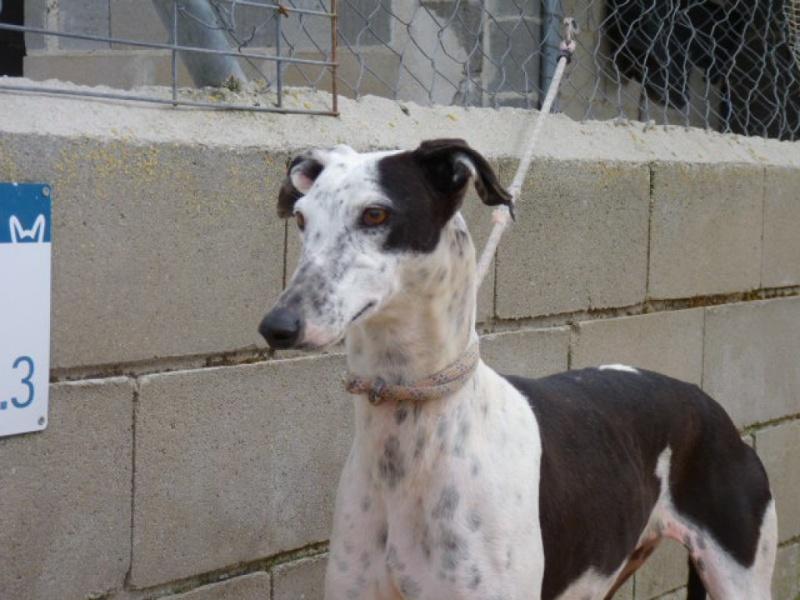 Lacama, galga noire et blanche, 3 ans Scooby France Adoptée  P1300831
